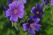 Beautiful Purple Gozo