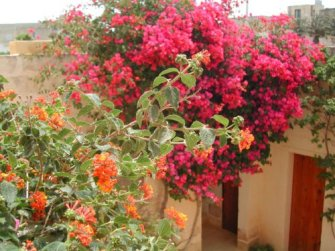 Bouganvillea and Lantana in bloom