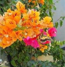 Gozo flowers